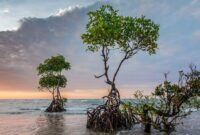 Cara Menanam Mangrove yang Baik dan Benar Untuk Pemula
