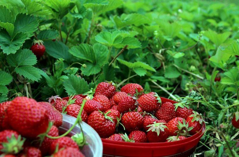 Masa Panen Buah Strawberry