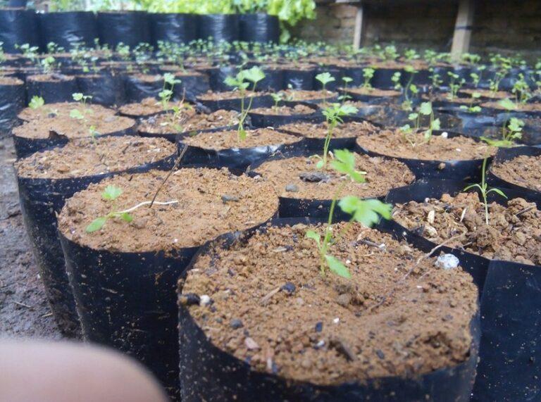 Syarat Pertumbuhan Seledri Di Polybag