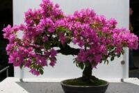 Cara Menanam Bunga Bougenville yang Baik dan Benar