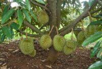 Cara Menanam Buah Durian Pendek yang Benar Untuk Pemula