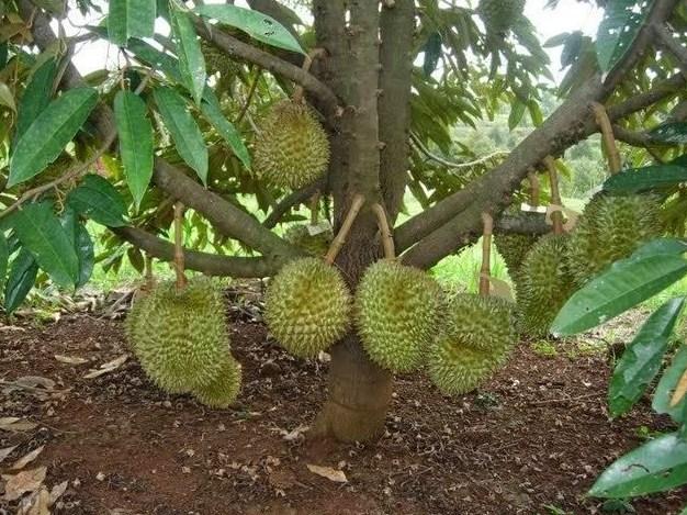 Membuat Pohon Durian Pendek