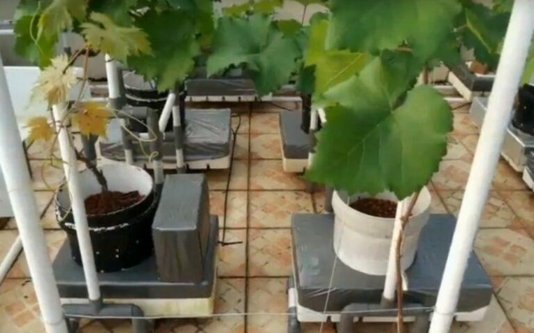 Menanam Anggur Hidroponik