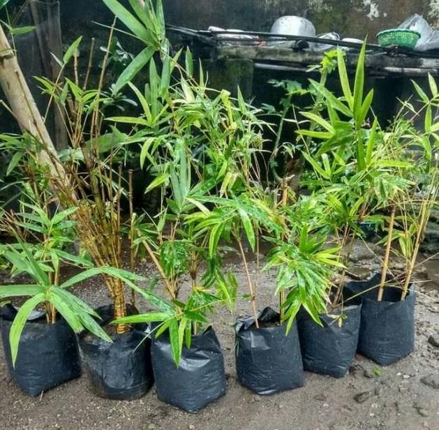 Menyiapkan Bibit Bambu kuning