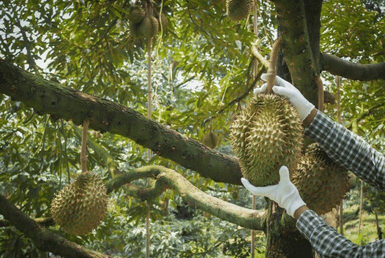 Merawat Pohon Durian Pendek