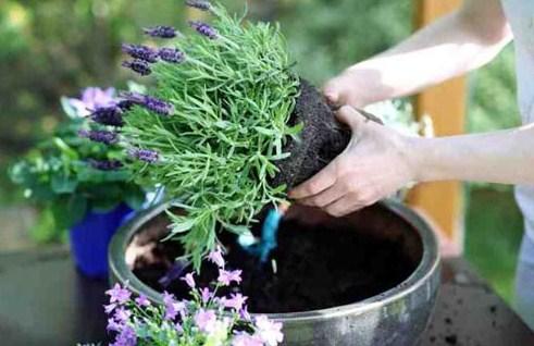 Merawat Tanaman Lavender
