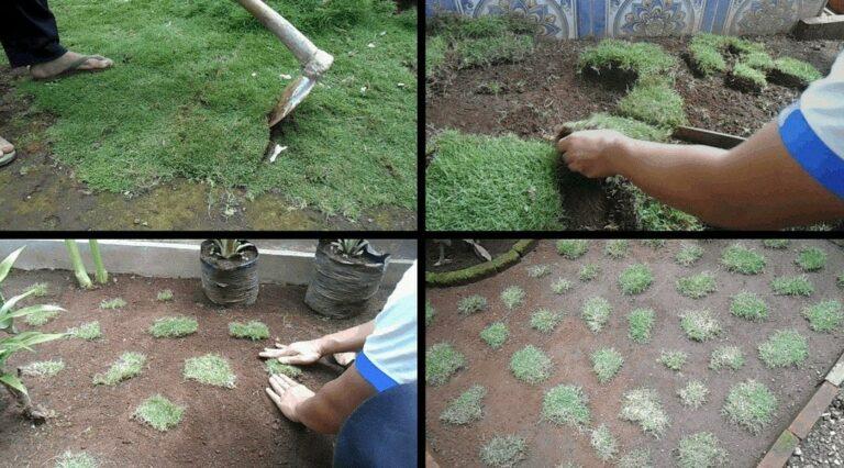 Mulai Tanam Rumput Gajah Mini