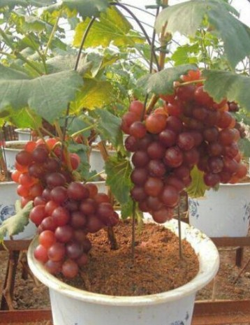 Panen Buah Anggur Hidroponik