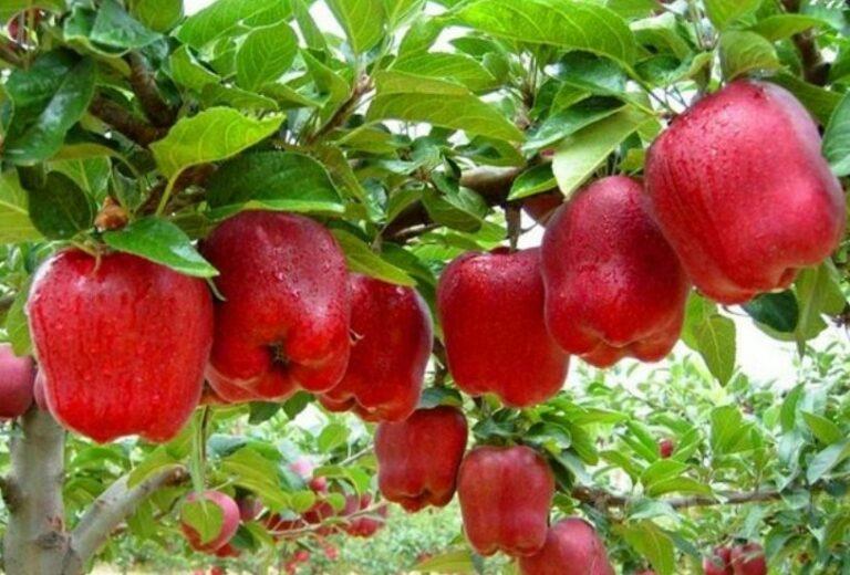 Panen Buah Apel