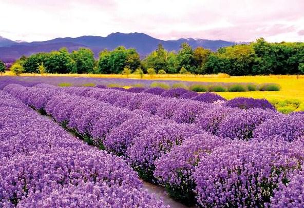 Panen Bunga Lavender