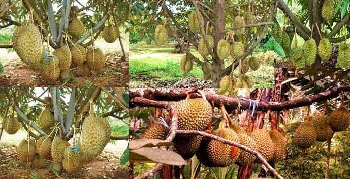 Panen Durian Pendek