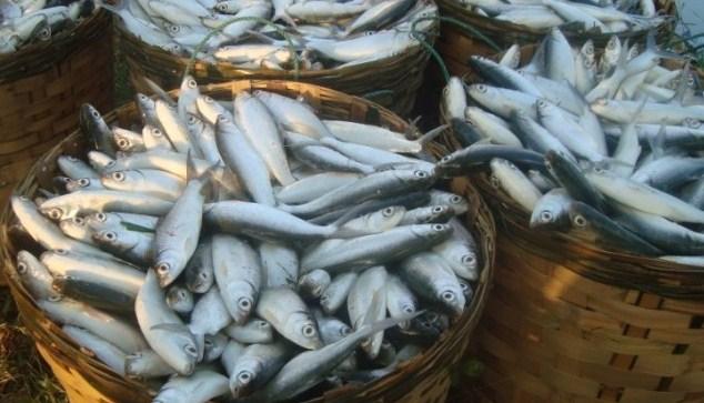 Panen Ikan Bandeng