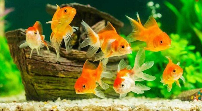 Panen Ikan Mas Koki