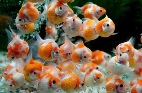 Pembesaran Ikan Mas Koki