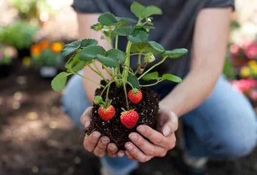Pemeliharaan Tanaman Buah Strawberry