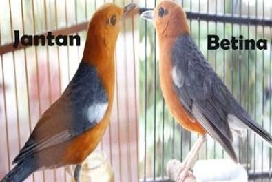 Pemilihan Indukan Burung Anis Merah
