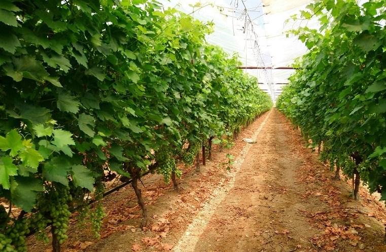 Pengolahan Tanah Anggur