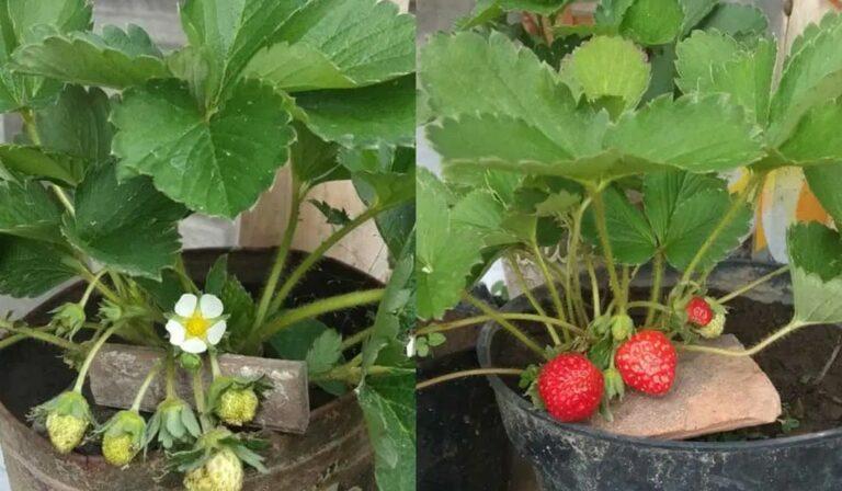 Penyiapan Tempat Tanam Strawberry