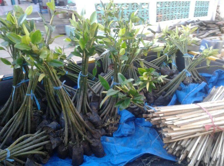 Persiapan Menanam Mangrove