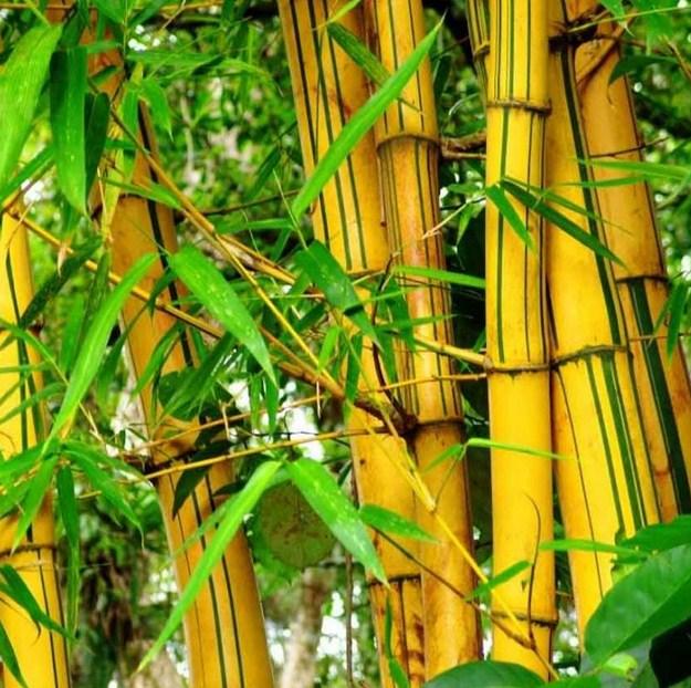 Pertumbuhan Bambu Kuning