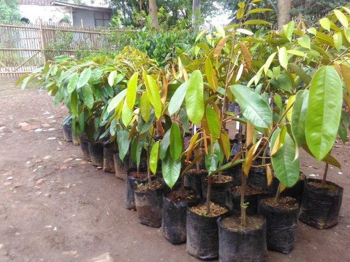 Pilih Benih Durian Montong