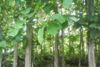 Cara Menanam Pohon Jati yang Baik dan Benar Untuk Pemula