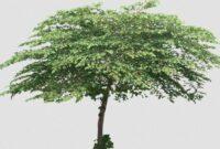 Cara Menanam Pohon Kersen