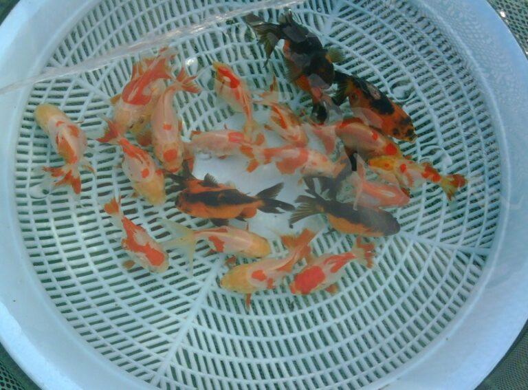 Seleksi Pengelompokan Ikan Mas Koki