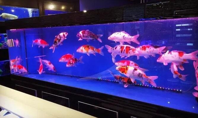 Siapkan Tempat Ikan Koi