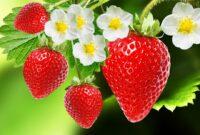 Cara Menanam Strawbery di Dataran Rendah yang Baik dan Benar