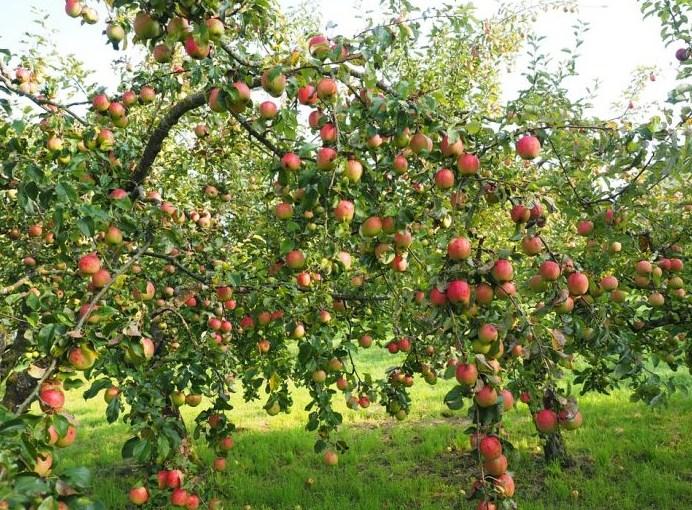 Syarat Tumbuh Apel
