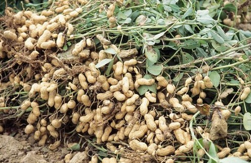 Pemanenan Kacang Tanah