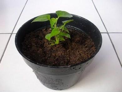 Tahap Penanaman Kacang Tanah