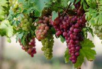 Cara Menanam Buah Anggur yang Benar Untuk Pemula