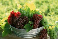 Cara Menanam Buah Anggur Hidroponik Yang Benar Untuk Pemula