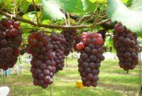 Cara Budidaya Anggur Agar Cepat Berbuah yang Baik dan Benar