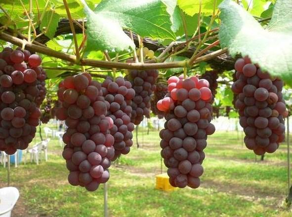 Menanam Buah Anggur