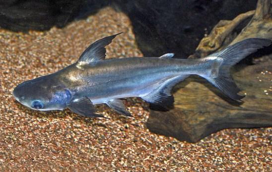 Cara Budidaya Ikan Patin Agar Cepat Besar