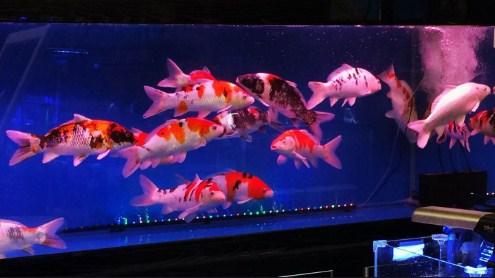 cara budidaya ikan koi di aquarium