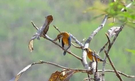 Menjodohkan Indukan Burung Anis Merah
