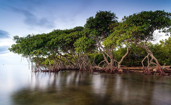 Merawat Mangrove