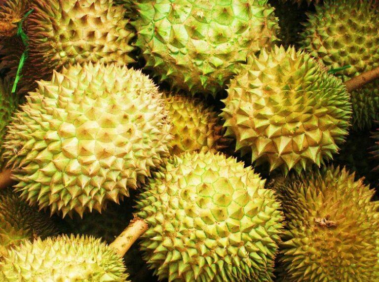 Proses Panen Durian Montong