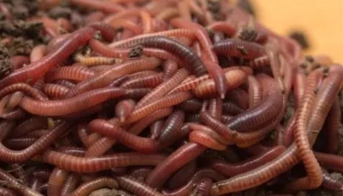 Ternak Cacing Merah