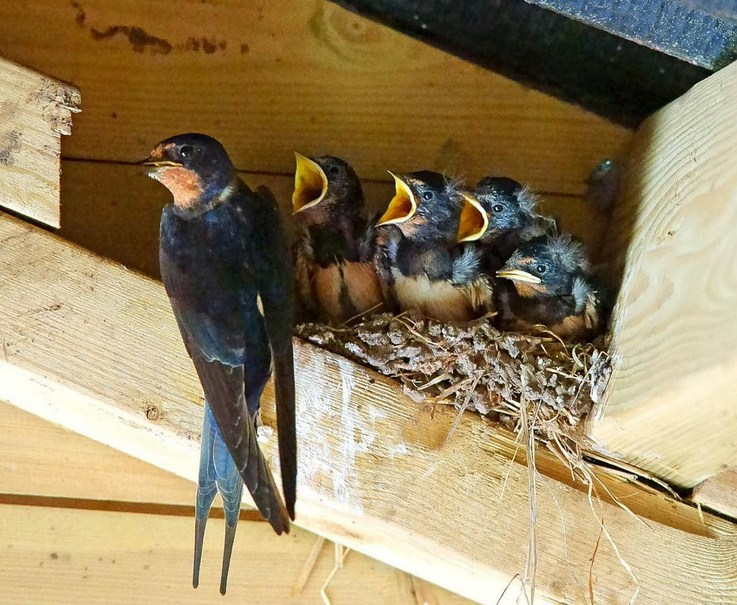 Dalami Ciri-ciri Burung Walet