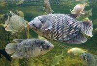 Cara Budidaya Ikan Gurame Di Kolam Tembok Agar Cepat Besar