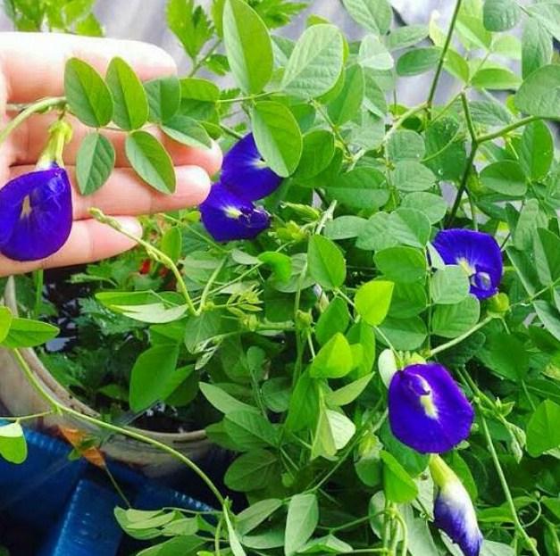 5. Masa Panen Bunga Telang