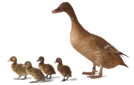 Menentukan Jenis Bebek