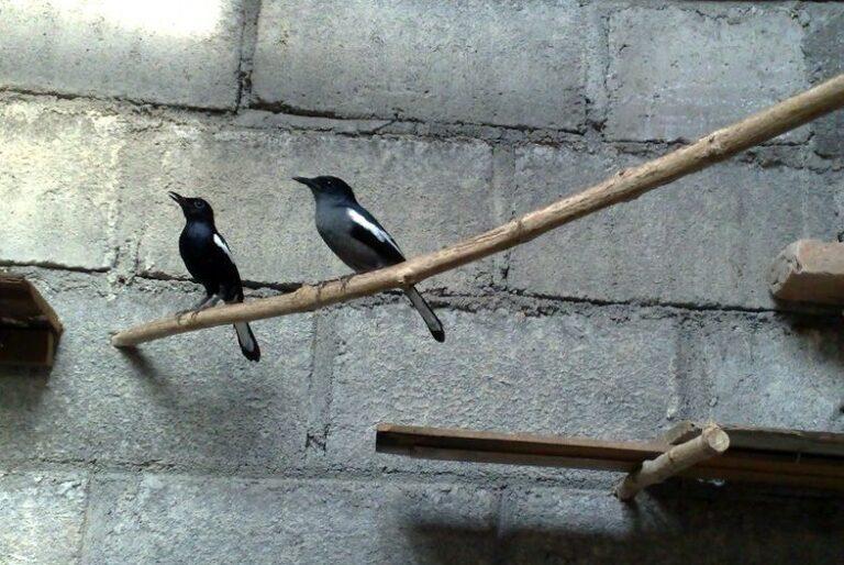 Menyatukan Burung Kacer Jantan dan Betina Dalam 1 Sangkar