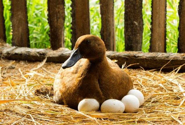 Panen Telur Itik