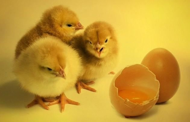 Pemilihan Bibit Ayam Kampung